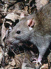 Picture of Norway Rat from Wikipedia