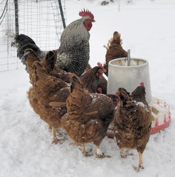 ChickensatFeeder.jpg